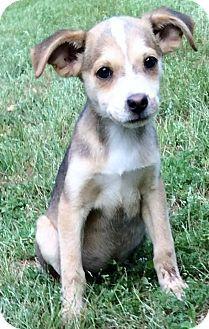 North Brunswick, NJ - Miniature Pinscher Mix. Meet Macy, a puppy for adoption. http://www.adoptapet.com/pet/12931782-north-brunswick-new-jersey-miniature-pinscher-mix