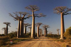Witness an IRL screensaver on Avenue of the Baobabs in Menabe, Madagascar. 10 Streets That Will Actually Warp You Into A Different Place Queensland Australia, Madagascar Honeymoon, Beautiful World, Beautiful Places, Beautiful Scenery, Places To Travel, Places To Visit, Chefchaouen, Natural Mineral Water