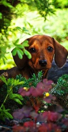 Dachshund peeking out from the flora and fauna