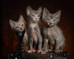 An adorable trio of Lykoi, also known as werewolf kittens.