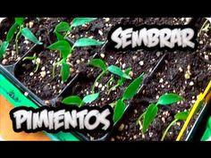 Como Sembrar Pimientos Germinar En 7 Dias Muy Facil El Semillero    La Huertina De Toni - YouTube