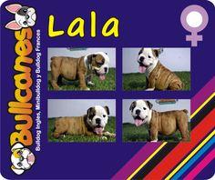LALA - Male miniature bulldog puppies for sale BULLCANES