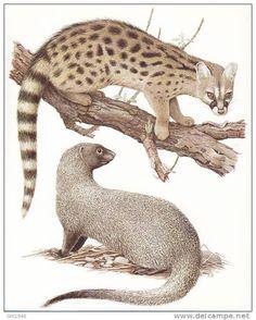 vintage prints mammals   Lithographic prints Mammals of Europe / 56.Genetkat & Faraorat of ...