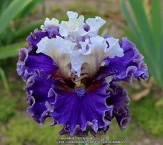 TB Iris germanica 'Espionage' (Keppel, 2015)