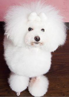 perle リボン・コンチ --愛犬の友 ヘアスタイルカタログ--