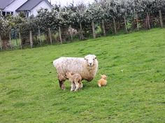 Massey's Director International Arthur Chin has two new arrivals at his home - baby lambs Daisy and Ginger were born yesterday. Congratulations Arthur! #spring #NewZealand #cute