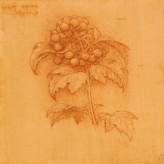This drawing of Viburnum opulus by Leonardo da Vinci seems not to have been a study for a part of a painting. Rather, it is one of a number of drawings that might have been intended to be a botanical study of herbs. Botanical Drawings, Botanical Prints, Plant Drawing, Painting & Drawing, Michelangelo, Sibylla Merian, Pierre Auguste Renoir, Graphic, Canvas Art Prints
