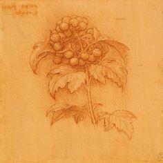 Leonardo da Vinci, 1452-1519, Italian, A sprig of guelder rose (Viburnum opulus) with berries, c.1505-10.  Red chalk on pale red prepared paper.  Royal Collection Trust, Windsor.  High Renaissance.