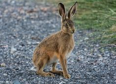 I decided to see what wildlife was about before bedtime, I don't know who was more surprised me or the hare! Hare Pictures, Subject Of Art, Let's Make Art, Clay Animals, Circle Of Life, Wild Ones, Animals Beautiful, Adorable Animals, Mammals