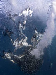 'Gannet Attack' by Allen Walker taken in Sardine Run, Port St Johns, Transkei Wild Coast, South Africa. Awarded 3rd place. 'Diving gannets d...