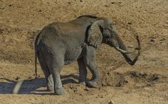 Digging For Water - African Elephant Bull | par philnewton928