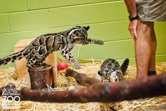2 Clouded Leopard cubs, recently introduced to each other.   http://www.zooborns.com/zooborns/2013/09/clouded-leopard-point-defiance-zoo-.html