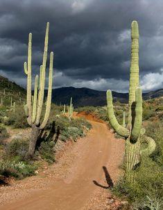 Cactus road (Arizona) by Jeff Doolittle cr. Arizona Cactus, Desert Cactus, Landscape Photography, Nature Photography, Desert Life, Desert Road, Desert Sunset, All Nature, Cactus Flower