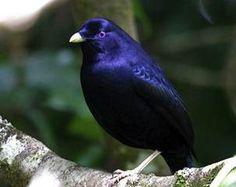 El Universal - Ciencia - Aves cultivan flores para cortejar a hembras