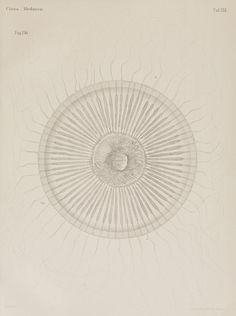 Untersuchungen über die organisation und entwicklung der medusen, (1883) - Biodiversity Heritage Library