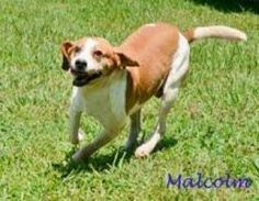 Malcolm is an adoptable Beagle Dog in Watertown, CT. He's a special needs pup in search of a forever home to call his very own.