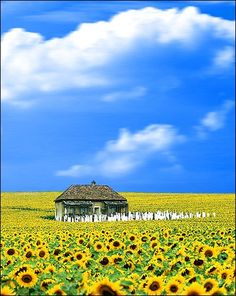 "This is how I think of Ukraine - spent 27 months there in Peace Corps. (This photo is from the movie ""Everything is Illuminated"")  #Ukraine #Sunflowers"