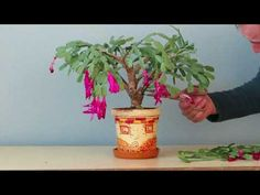 Schlumbergera tăiere drastică - YouTube Christmas Cactus Care, Cool Things To Make, Planter Pots, Wisteria, House Styles, Roses, Youtube, Home, Lawn And Garden