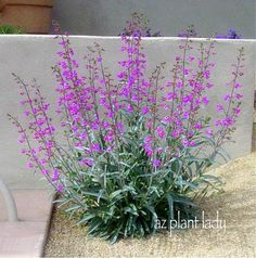 (Common Name: Parry's Penstemon  Botanical Name:  Penstemon parryi) This can put out babies when mature.  Loves filtered sun and hummingbirds love it too.  I divide when it gets too big.