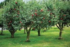 Adding an Orchard to Your Garden Fruit trees offer beauty, bounty and romance to the garden—not to mention fillings for pies, cakes, and simply delicious tastes. Fruit Tree Garden, Fruit Plants, Garden Trees, Apple Garden, Dwarf Fruit Trees, Growing Fruit Trees, Orchard Design, Garden Online, Garden Drawing