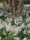 Renga renga lilies in summer planted under Pohutuakawa trees Shade Loving Shrubs, Summer Plants, Evergreen Trees, Woodland Garden, Small Trees, Native Plants, Lilies, Lush, Garden Ideas
