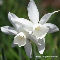One of the loveliest of all daffodils, Narcissus triandrus Thalia, has one to three pure white graceful hanging flowers per stem. Looks best planted in drifts or clumps. Symbolizes new beginnings and ensures happiness. Used as March birth month...