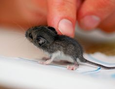 BABY MOUSE!