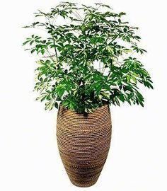Schefflera in rope-wrapped pot. Have glue gun. Just need the Schefflera