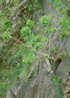 Ficus_Abutilifolia /Soldanella          Large-leaved Rock Fig           Grootblaarrotsvy         8 m         S A no 63