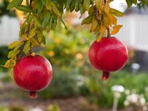 Pomegranate. Don't bother dreaming about going into the juice business, but growing a pomegranate in a pot gives you a chance to view up clo...