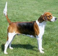 English Foxhounds look like big Beagles :)