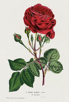 "Rose ""Prince Albert"" - 1845 Charles Lemaire Flore de Serres Prints"