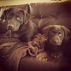 I just want a chocolate lab... is that too much to ask for?