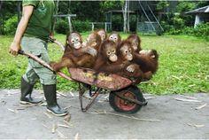 Oh how I love orangutangs!
