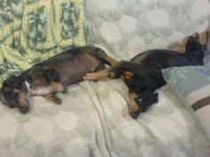 Best Bro's Dewey the Doxie & Charlie the Min Pin!  Hey no problem bro my back is all better!