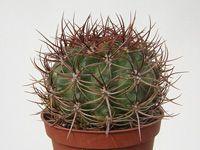 Echinopsis formosa ssp. kieslingii (=Lobivia kieslingii) R 573