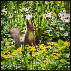 #orava #Kaisaniemenpuistossa #squirrel