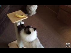 Q&A with Jenny Dean of Floppycats - ねこ - ラグドール - = ネコ - ねこ- Floppycats - YouTube