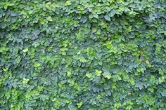 Ficus pumila or Tckey Creeper can attach itself to any porous surface and is an…