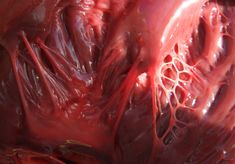 "endless-emotion: "" milesian: ""Heart Strings"" Better known as ""tendinous cords"", located in the ventricles. These strands of collagen and elastin connect the papillary muscle and atrio-ventrical. Trauma, Alice Liddell, Neutral, Medical Illustration, High Art, Human Anatomy, Creature Design, Human Body, Blood"