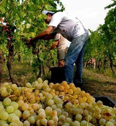 Profughi sulle vigne del Prosecco - Cronaca - Tribuna di Treviso