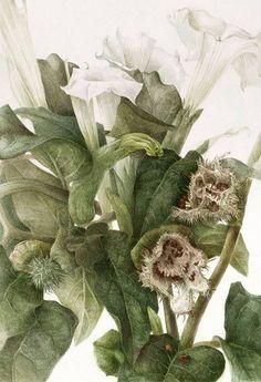 Botanical Paintings by Elaine Searle--- Datura stramonium Art Floral, Watercolor Drawing, Watercolor Flowers, Watercolor Paintings, Watercolours, Drawing Flowers, Botanical Drawings, Botanical Illustration, Illustration Art