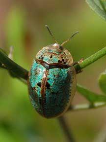 Emerald Costa Rican Tortoise Beetle