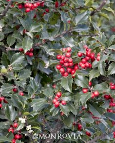 Blue girl holly.  6 x 4. Good for shade.  Dark, glossy leaves and abundant red berry clusters. This broadleaf evergreen softens and hides unsightly structures such as utility boxes, and corners of buildings. When planted in groups, the fall and winter, bright red berries that adorn Ilex 'Blue Girl' make this species a perfect specimen plant for the off season. It is important to note, that she will not produce berries without her 'man.' One, Ilex 'Blue Boy' for every 1- 3 girls