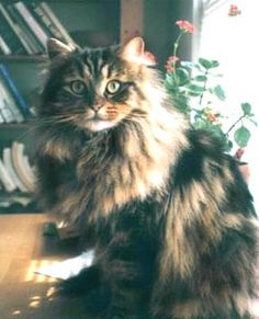 Norwegian Forest Cats Gorgeous!