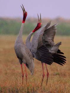 Sarus Cranes | What's New International Crane Foundation #wild #animals