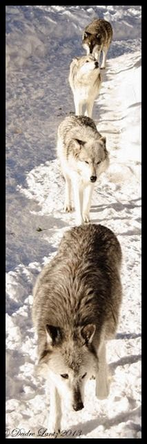 Wolf pack walking down snowy path
