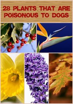 28 Plants That Are Poisonous to Dogs Plants and Flowers are lovely to look at and sweet to smell, but sadly for dogs, not all of them are so enchanting. There are a variety of flowers, leaves, seed. Pet Dogs, Dogs And Puppies, Doggies, Poisonous Plants, Healthy Pets, Pet Health, Health Tips, Pet Grooming, Dog Care