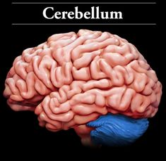 Cerebellum: Located at the back of the brain, the cerebellum controls: balance; movement; and coordination. The cerebellum also allows us to: stand upright; keep our balance; and move around. Damage to the cerebellum can result in: uncoordinated movement; loss of muscle tone; and an unsteady gait.