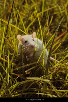 Lilah - rat, being wild